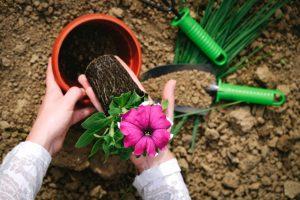 植木鉢に苗を植え付け
