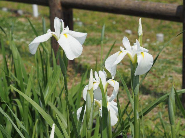 ハナショウブの白い花
