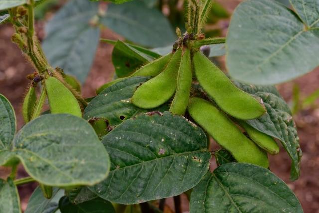収穫間近の枝豆