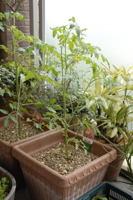 ミニトマト鉢植え