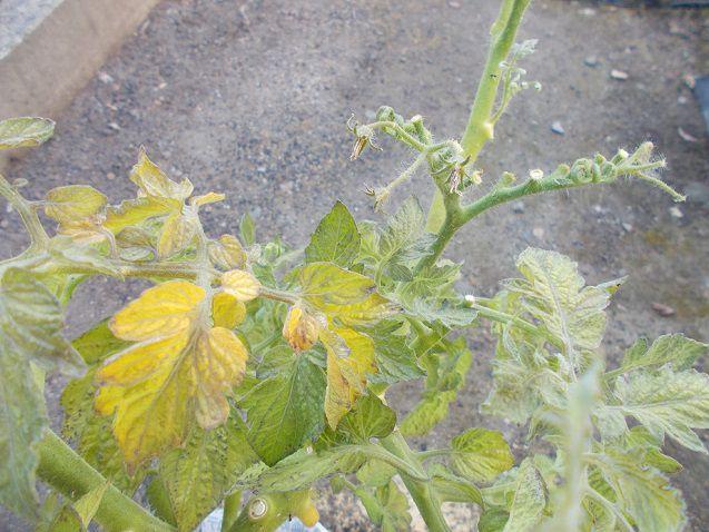 ミニトマトの黄色くなった葉