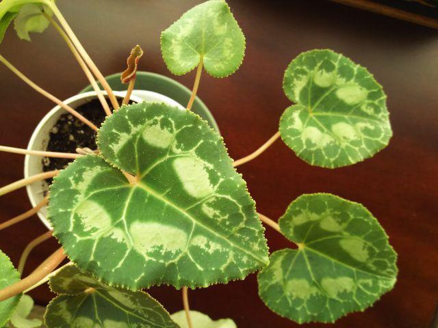 シクラメンの葉