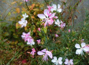 ガウラの花