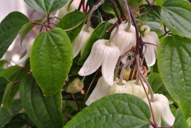 クレマチス 鉢植え