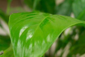 観葉植物スパティフィラムの葉