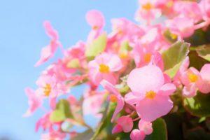 ベゴニア センパフローレンス(四季咲きベゴニア)