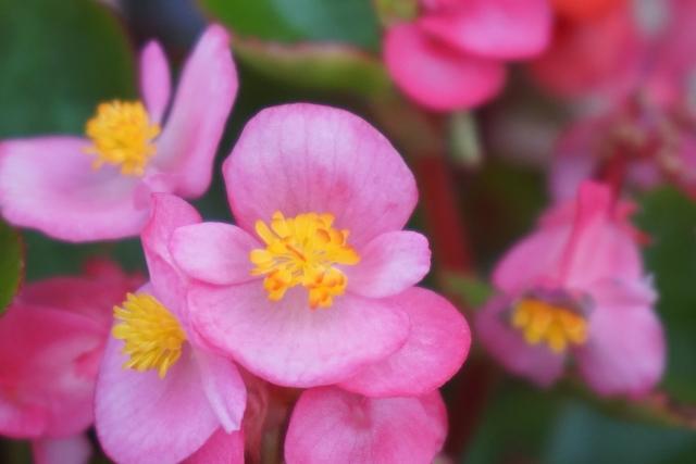 四季咲きベゴニア