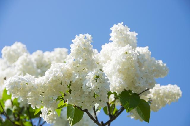 白い花のライラック