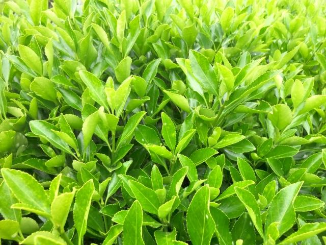 常緑低木マサキ