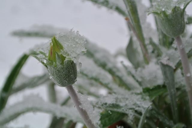 冬のガーベラ