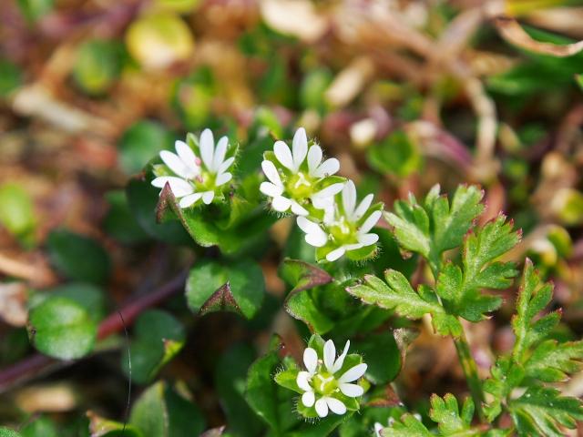 春の花 はこべ