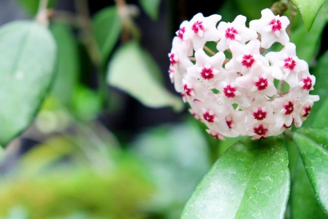 ラクラランの花