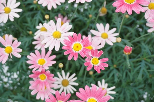 白とピンクのマーガレットの花