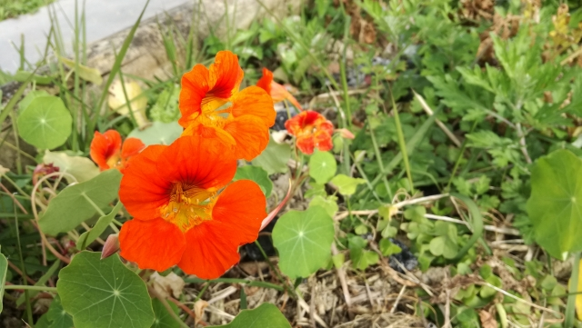 ナスタチウムの花