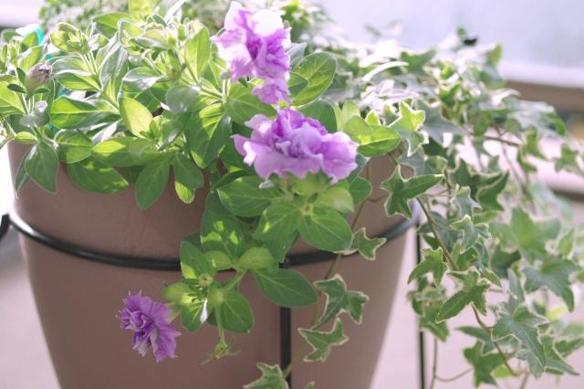 ペチュニアの鉢植え