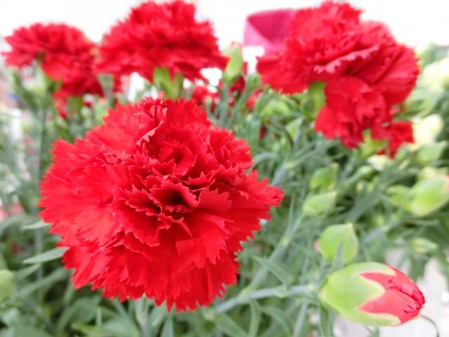 赤いカーネーションの花