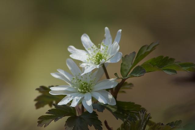 キクザキイチゲの白い花