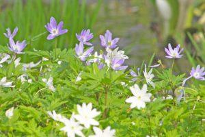 キクザキイチゲの花