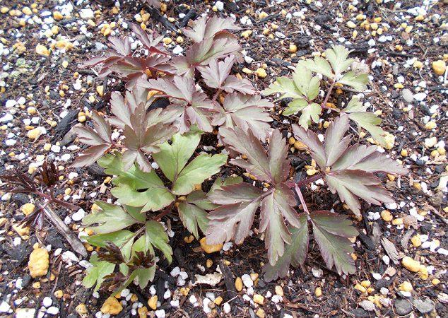 キクザキイチゲの葉 4月