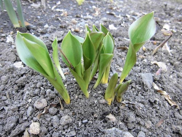 キバナカタクリの芽出し
