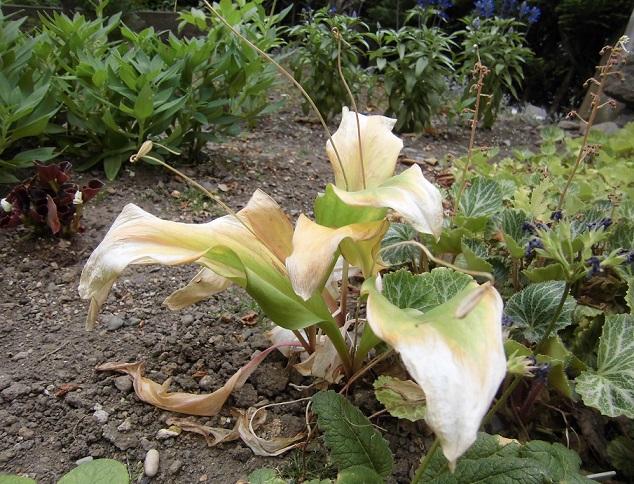 キバナカタクリの花後