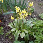 キバナカタクリ開花