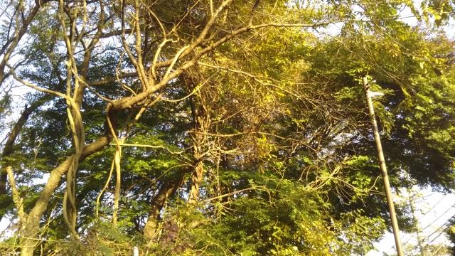木にからみつくフジ