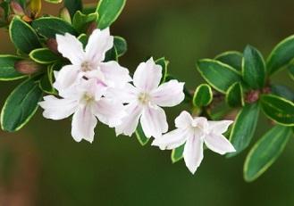 ハクチョウゲ(白丁花)の花