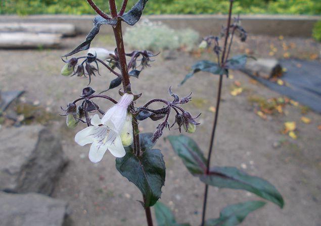 ペンステモンの花