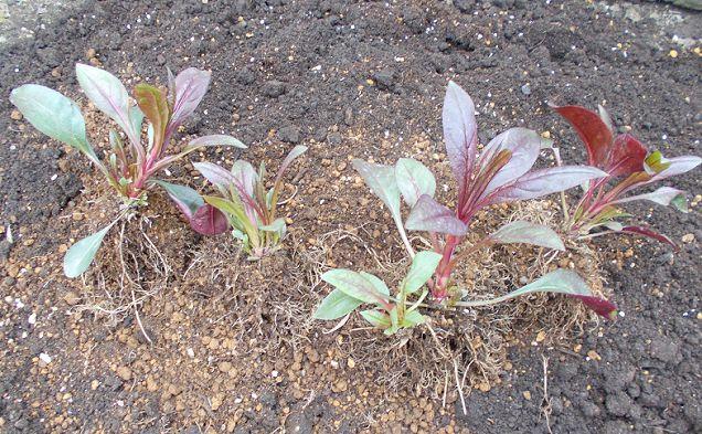 ペンステモンの苗の植え付け