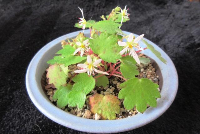 ダイモンジソウの鉢植え