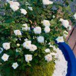 バラの盆栽