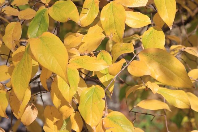 ロウバイ(蝋梅)の葉