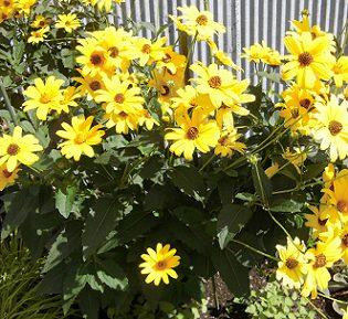 ルドベキア タカオの花