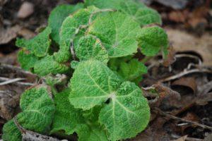 タチアオイの葉