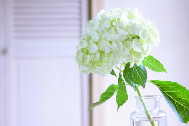 アジサイの切り花