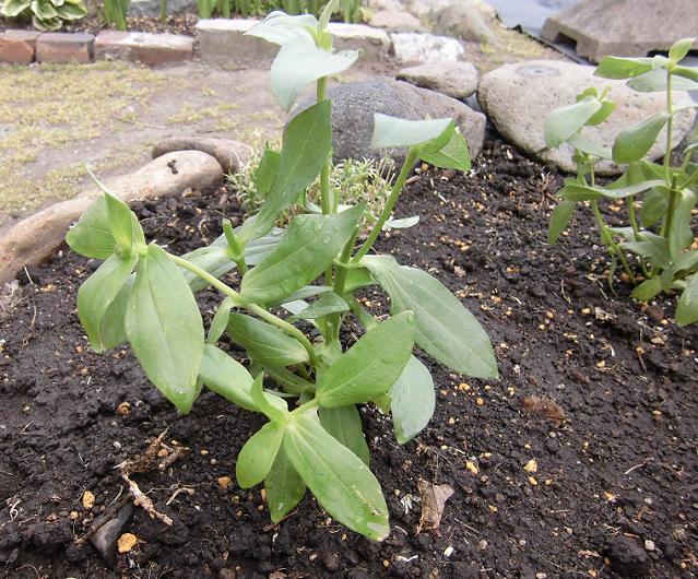 百日草の苗を地植え