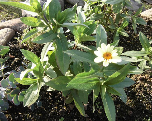 百日草の花
