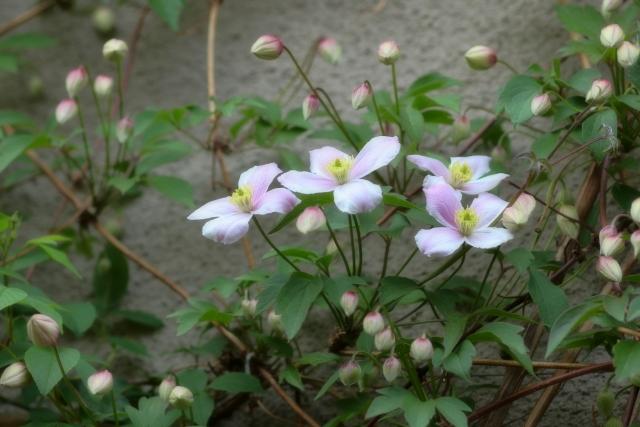 クレマチスモンタナ系の花