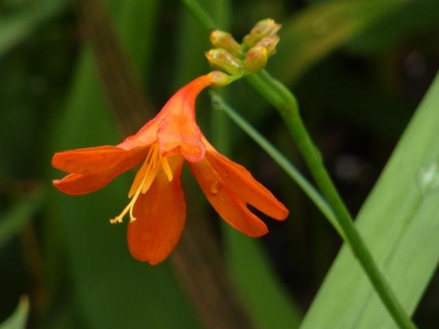 モントブレチア(クロコスミア)の花