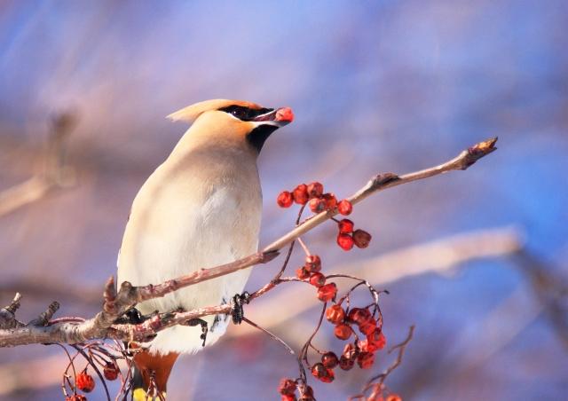 ナナカマドの実を食べる鳥