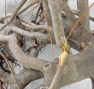 ドウダンツツジの枝折れ