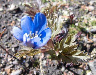 キクザキイチゲの薄青紫の花