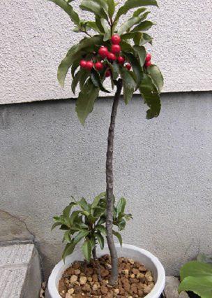 マンリョウの木