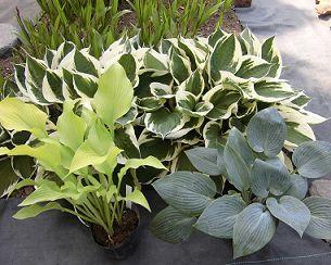 庭植えのギボウシとハルシオンとサンパワーの苗