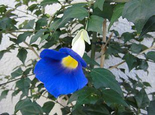 ツンベルギアの花