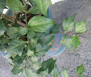 ツンベルギアの葉