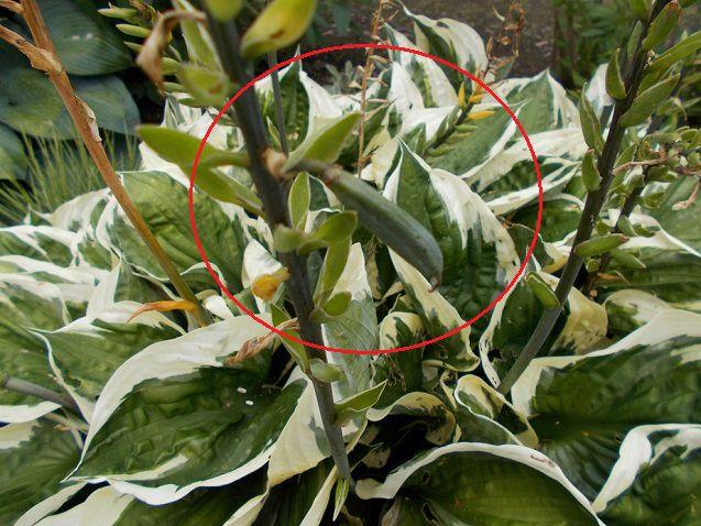 斑入りギボウシの種