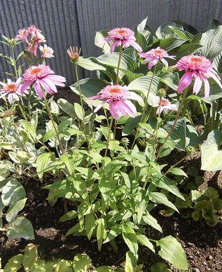 エキナセア ルビンスタインの花