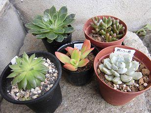 購入した多肉植物5種
